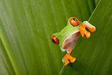 Fototapety red eyed tree frog peeping