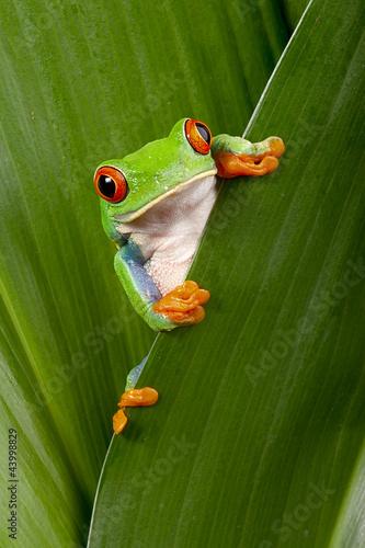 red eyed tree frog peeping