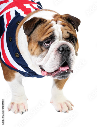 English Bulldog in studio