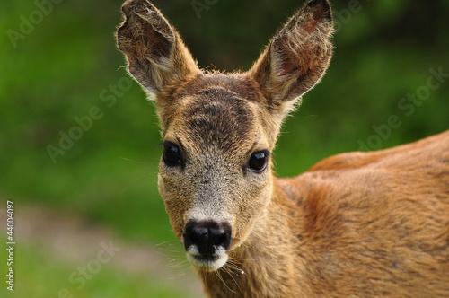 Fotobehang Ree Young Roe deer