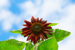 Beautiful Sunflower with blue sky