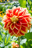 Red mottled Dahlia