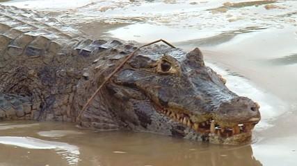 coccodrillo brasiliano