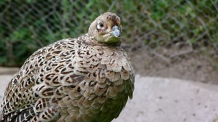 pheasant hen 2