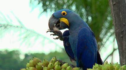 pappagalli ara brasile