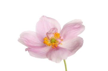 Anemone closeup
