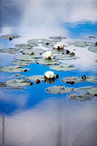 European white waterlily - 44024212