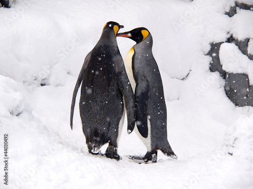 Couple of lovely King Penguins, Hokkaido, Japan