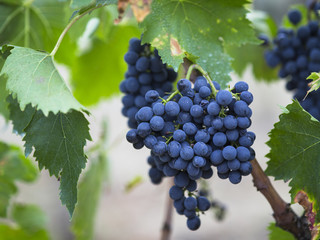red grapes in tuscan vineyard