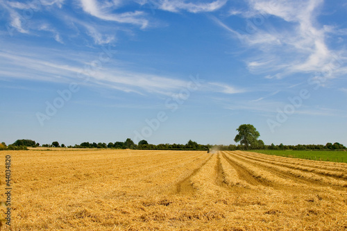 wheat harvest with combine harvester