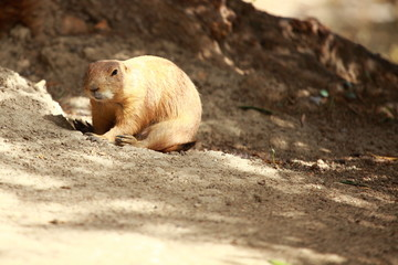 Black-tailed prairie dogs - sticking out from a burrow.