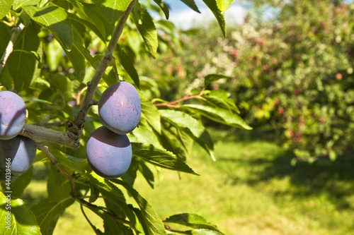 Orchard Plums