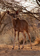 Young Kudu Ewe Foal Under Bushveld Tree