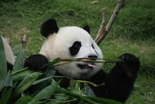 Portrait of giant panda bear eating bamboo, China