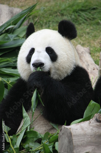 Papiers peints Panda Portrait of giant panda bear eating bamboo, China