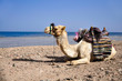 resting camel on the beach of the Red Sea