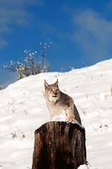 Bobcat on Stump