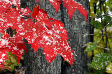 Big Red Leaves and Snow