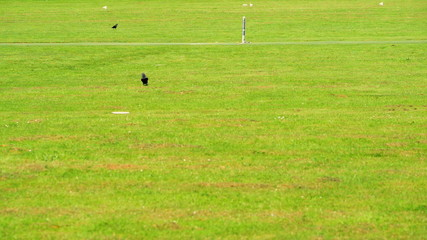 Western Jackdaw on the cricket field