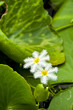 White spider water lily.
