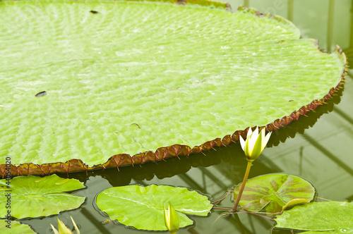 Victoria regia amazonica lotus.