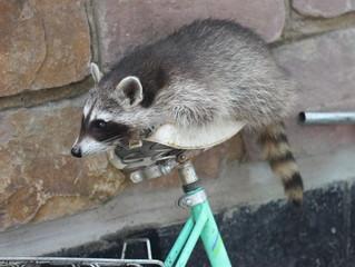 Junger Waschbär auf Fahrrad