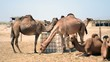 camels with Container of water