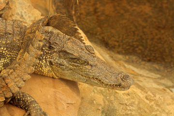 Siamese crocodile on rock
