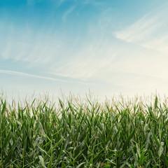 Corn Field on Cloudy Sky