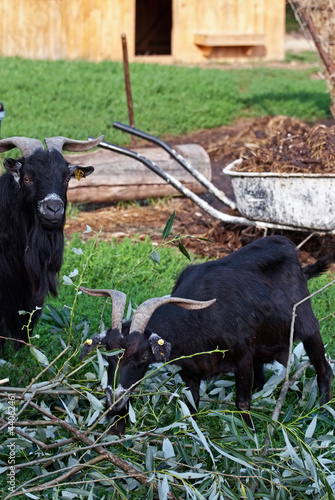 Two goats eating