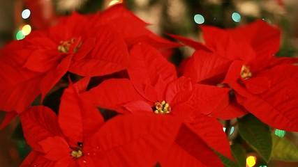 Christmas star (Mexican flame leaf). Christmas tree.