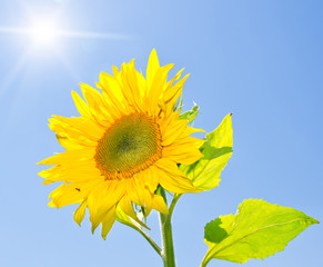 Yellow sunflower on a blue sky background