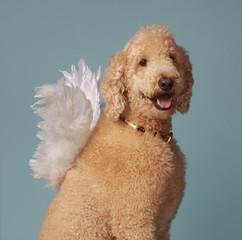 cute angel poodle