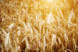 Golden sunset over wheat field. Shallow DOF, focus on ear