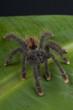 Pinktoe tarantula / Avicularia avicularia