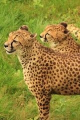 Couple de guépard