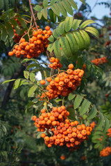 Many rowan-berries fruits hungs on green branch closeup