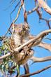 koala eats leaf in tree