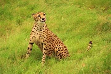 Très beau guépard