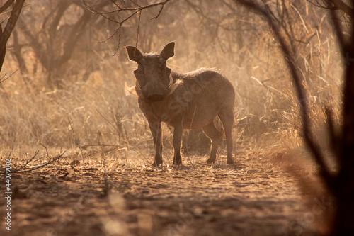 Alert Warthog Male in Dusty Bush