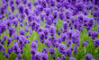 Closeup of lavender flowers - 44080291