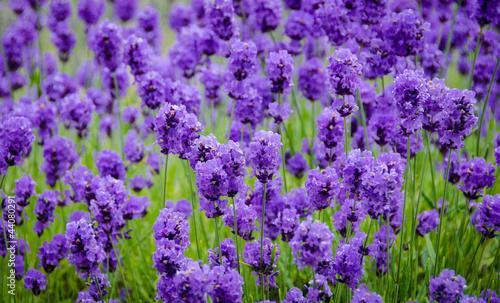 Obraz Closeup of lavender flowers