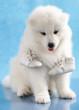 puppy of Samoyed dog and shoes