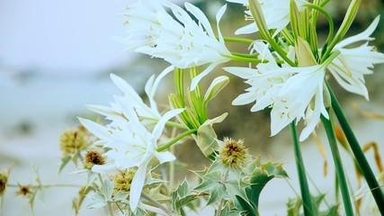 Lilium bianco sulla spiaggia