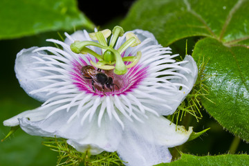 Honey bee in the passionflower