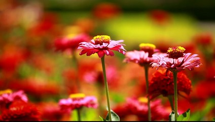 Red  flowers and morning dew in park blured background