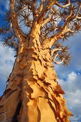 Köcherbaum ( Aloe dichotoma)