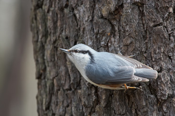 Nuthatch on a Tree Trunk Begging for Food