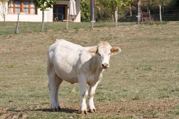 Vaca mirando de frente