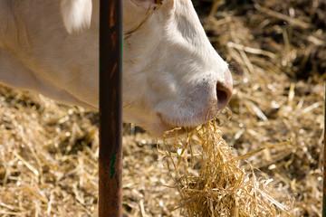 Vaca comiendo